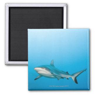 Grey reef sharks (Carcharhinus amblyrhnchos) 2 Inch Square Magnet