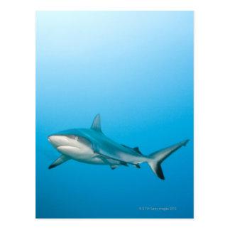 Grey reef sharks (Carcharhinus amblyrhnchos) Postcard