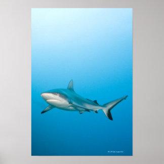 Grey reef sharks (Carcharhinus amblyrhnchos) Poster