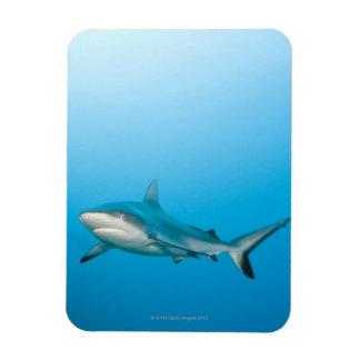 Grey reef sharks (Carcharhinus amblyrhnchos) Rectangular Photo Magnet