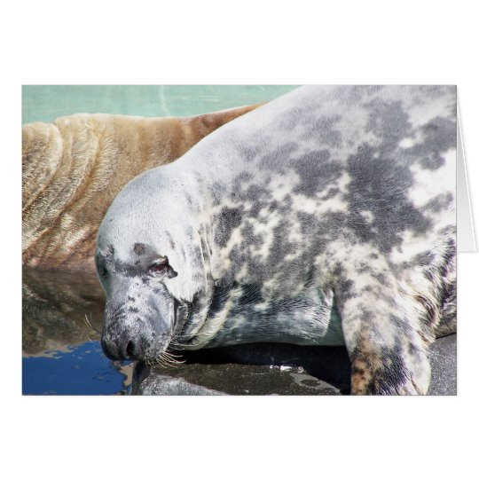 Grey Seal Close Up Portrait Card