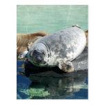 Grey Seal Looking Up Postcard