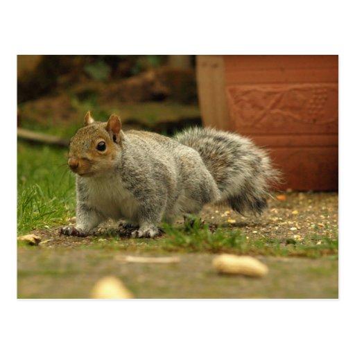 Grey Squirrel 1 Postcard
