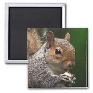 Grey Squirrel 2 Inch Square Magnet