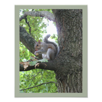 Grey Squirrel and nut Photo Print