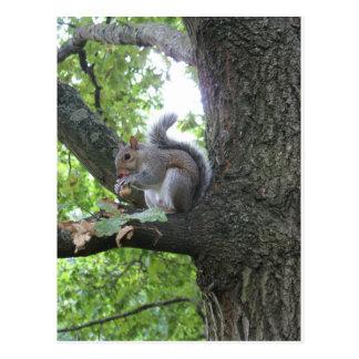 Grey Squirrel and nut Postcard