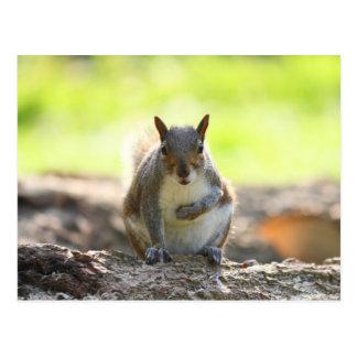 Grey Squirrel - Bute Park, Cardiff, Wales, UK Postcard