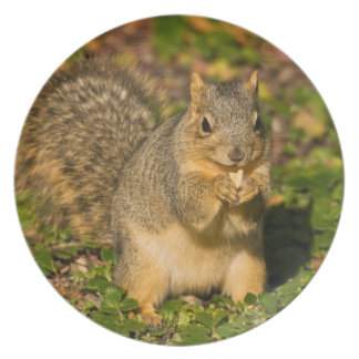 Grey Squirrel, eating, peanut, Crystal Springs 1 Dinner Plate