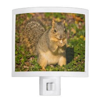 Grey Squirrel, eating, peanut, Crystal Springs 1 Night Light