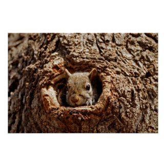Grey Squirrel in a Hole Poster