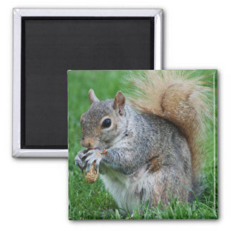 Grey Squirrel  Magnet