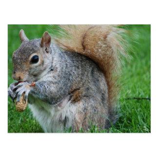 Grey Squirrel  Postcard