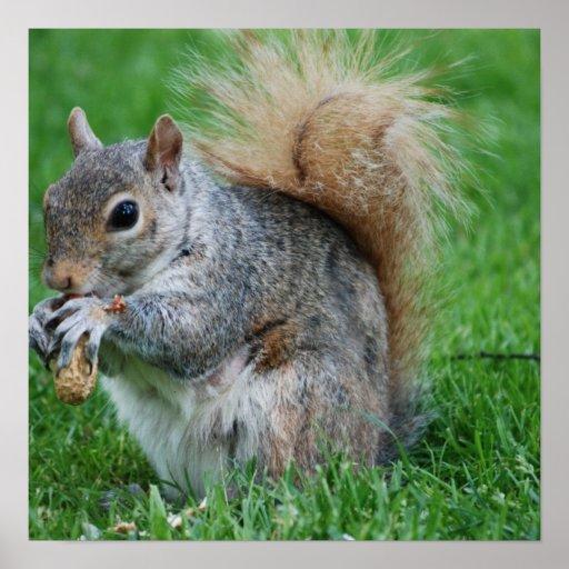 Grey Squirrel Poster