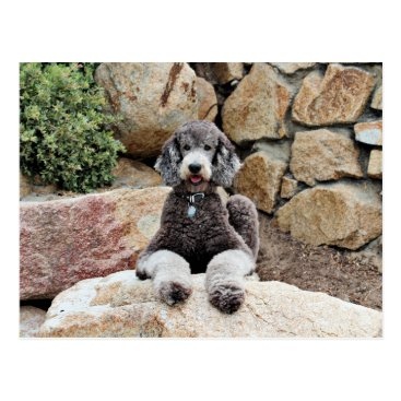 Beach Themed Grey Standard Poodle Dog enjoys Carmel Beach Postcard