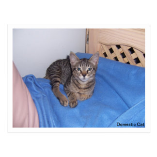 Grey Tabby Kitten Postcard