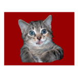 Grey Tiger Kitten with Blue Eyes Post Card