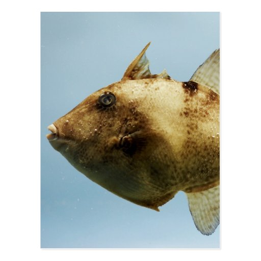 Grey Triggerfish Postcard