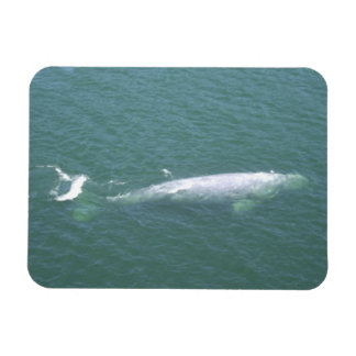 Grey Whale Magnet