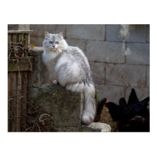 Grey-White Angora Cat Postcard
