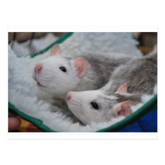 Grey wild duck white pet rats post card