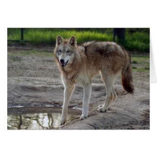 grey-wolf-10 card