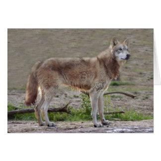grey-wolf-12 card
