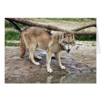 grey-wolf-18 card