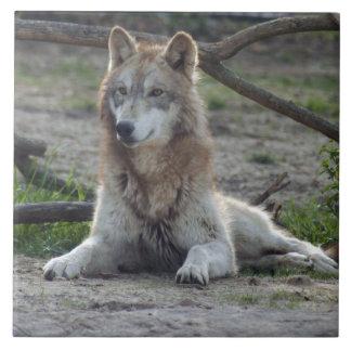 grey-wolf-7 azulejo cuadrado grande