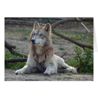 grey-wolf-8 card