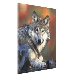 Grey Wolf Autumn Canvas Print Canvas Prints