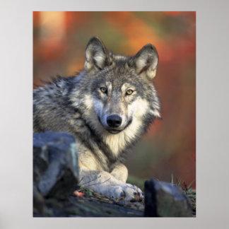 Grey Wolf Autumn Canvas Print