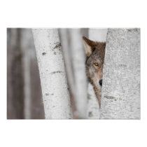 Grey Wolf (Canis lupus) Behind Tree Poster