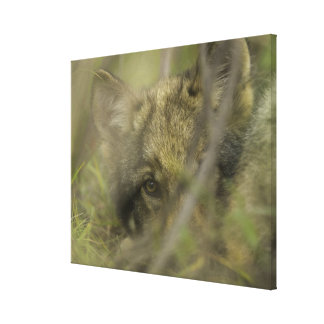 Grey wolf (Canis lupus) pup alone, hiding in Canvas Print