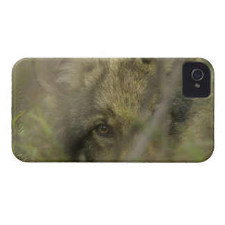 Grey wolf (Canis lupus) pup alone, hiding in iPhone 4 Cover