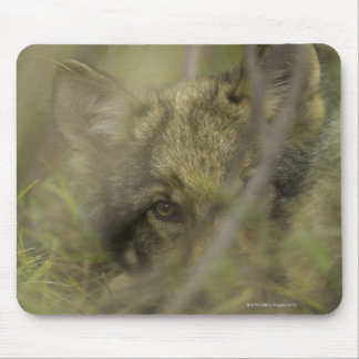 Grey wolf (Canis lupus) pup alone, hiding in Mouse Pad