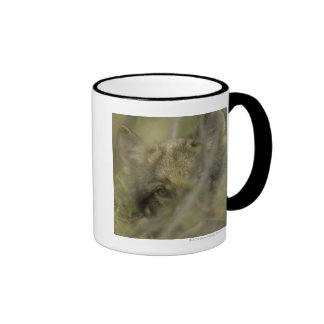 Grey wolf (Canis lupus) pup alone, hiding in Mugs