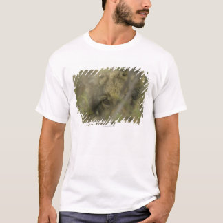 Grey wolf (Canis lupus) pup alone, hiding in T-Shirt