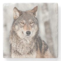 Grey Wolf (Canis lupus) With One Ear Back Stone Coaster