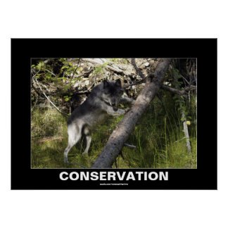 Grey Wolf Conservation Photo Poster