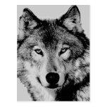 Grey Wolf Eyes Postcard