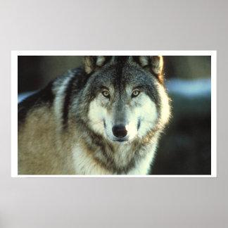 Grey Wolf from JungleWalk Poster