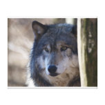 Grey Wolf Gallery Wrapped Canvas
