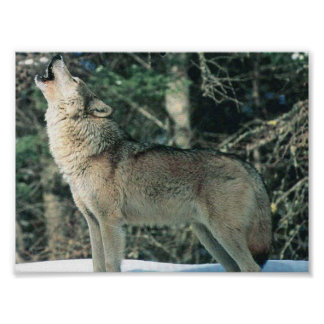 Grey wolf posters prints