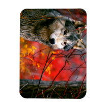 Grey Wolf in Beautiful Red and Yellow Foliage Magnet