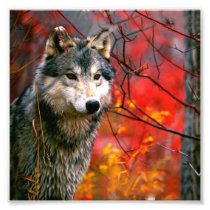 Grey Wolf in Beautiful Red and Yellow Foliage Photo Print