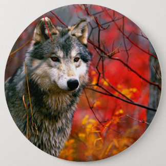Grey Wolf in Beautiful Red and Yellow Foliage Pinback Button