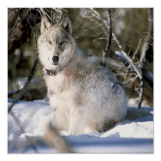Grey Wolf In Winter Poster Poster