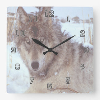 Grey Wolf In Winter Square Wall Clock