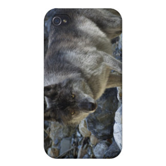 Grey Wolf iPhone Case iPhone 4/4S Cover