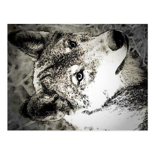 Grey Wolf Portrait Post Cards